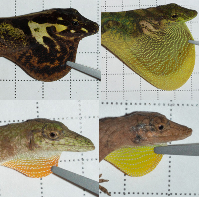 Anolis fitchi and orcesi